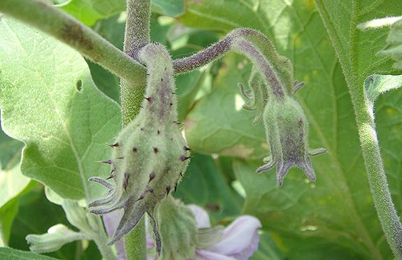 eggplant buds